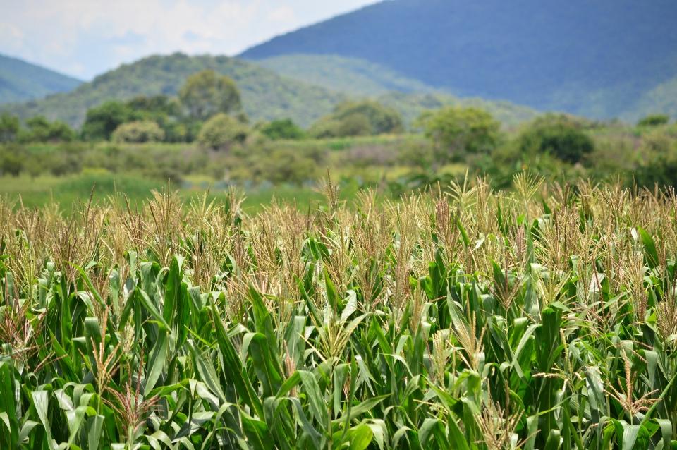 La heterosis en la agricultura