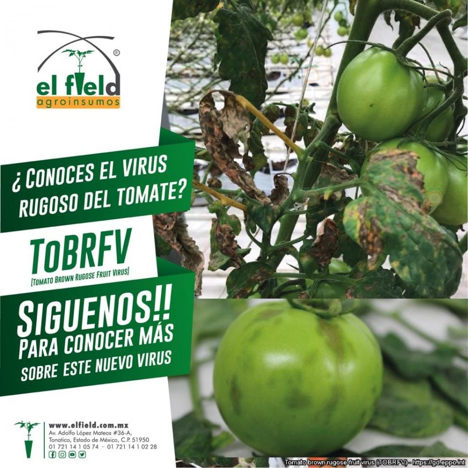 El TBRFV en tomate